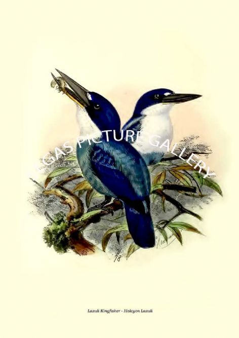 Fine art print of the Lazuli Kingfisher - Halcyon Lazuli by  the artist Johannes Gerardus Keulemans (1868-1871)